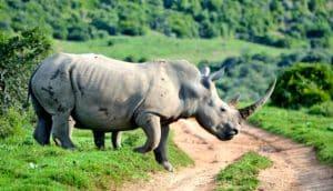 rhino crosses the road