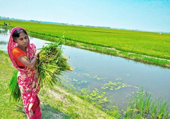 woman on rice farm