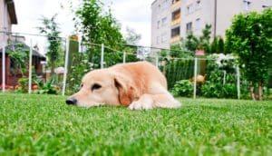 golden retriever in yard