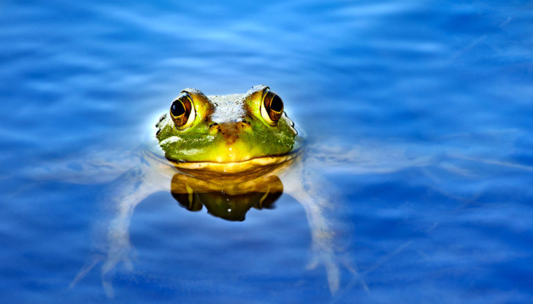 American bullfrog in water