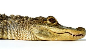 alligator on white