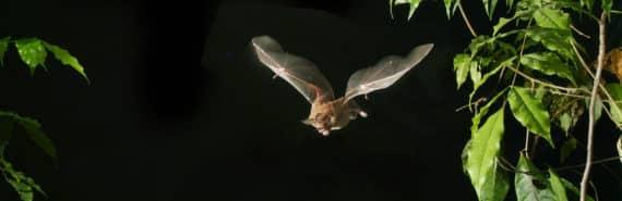 fringe-lipped bat