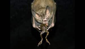fringe-lipped bat eats frog