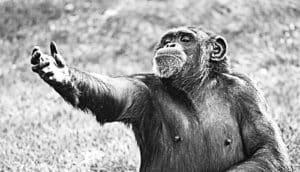chimp as Hamlet