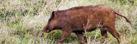 feral pig in Hawaii