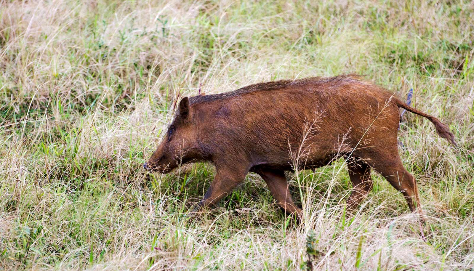 Hawaii's feral pigs have history in their genes - Futurity