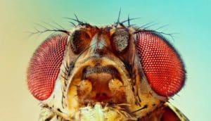fruit fly macro