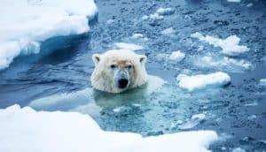 polar bear and sea ice