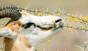springbok eats spiny plant