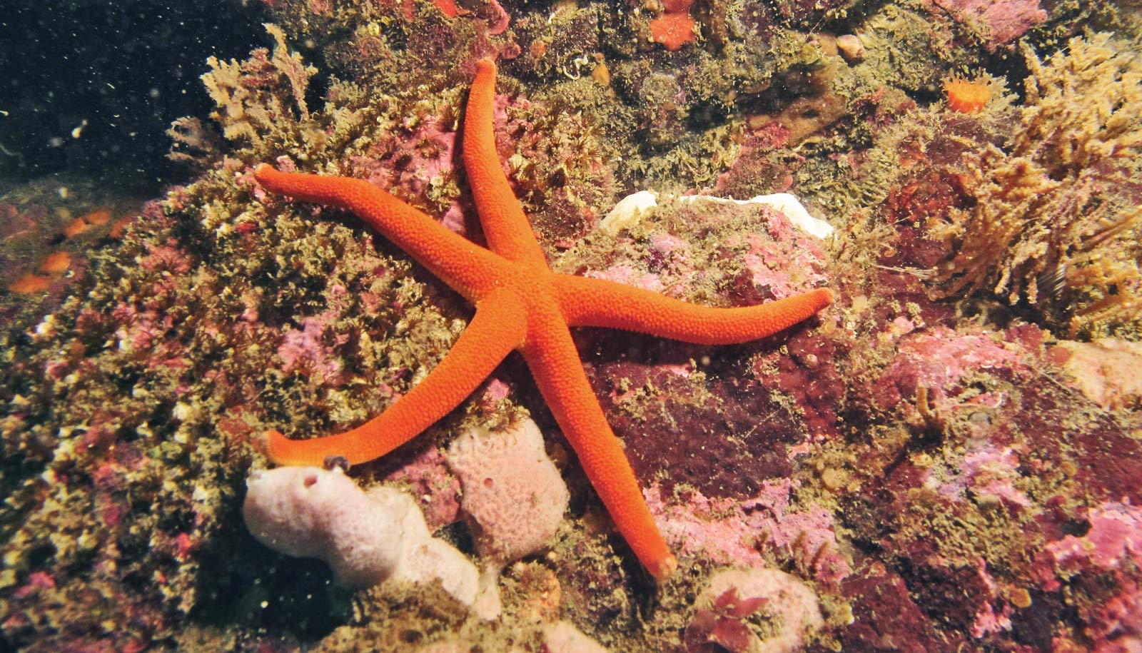 healthy sea star