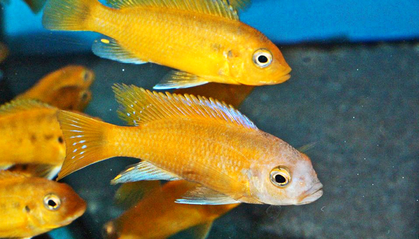 Deep, clear lake water let cichlids branch out