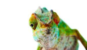 chameleon on white