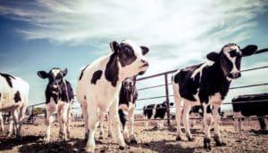 Holstein calves