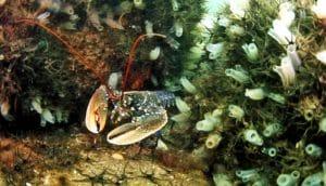 lobster underwater