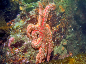 sick sea star