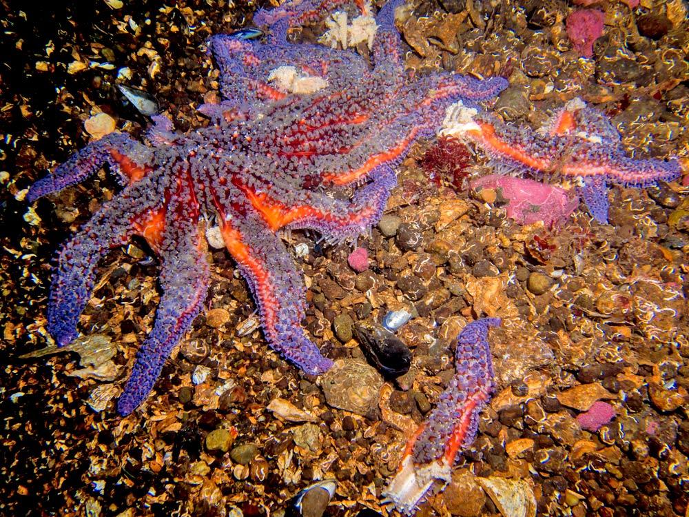 sick sea star