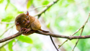 tarsier on branch