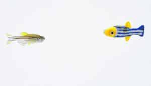 zebrafish and 3D buddy