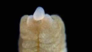 acorn worm