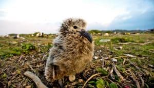 albatross chick and plastic trash