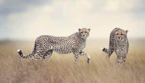 cheetahs in tall grass