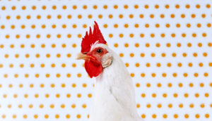 hen portrait with dots