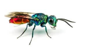 jewel wasp on white