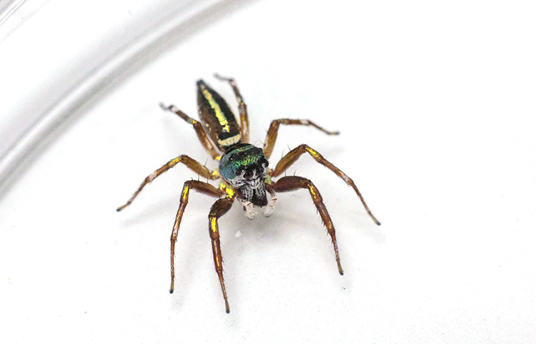 jumping spider in petri dish