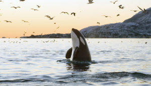 orca whale and birds
