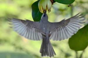 kingbird eats fruit