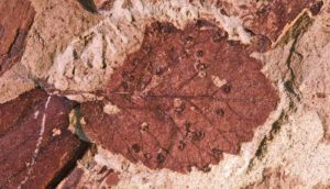 leaf fossil with galls