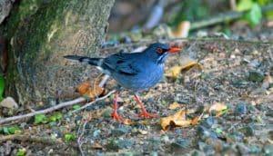 red-legged thrush bird