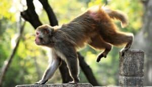 rhesus macaque walks