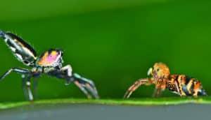 jumping spider courtship