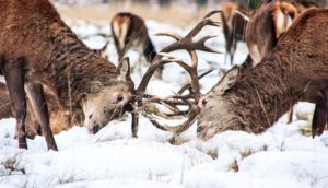 deer fight with antlers