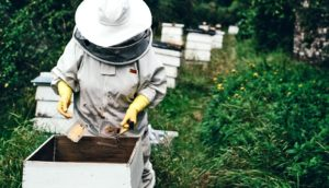 beekeeper tends honey bees