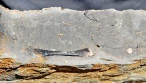 Tingmiatornis arctica fossil