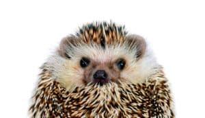 hedgehog on white