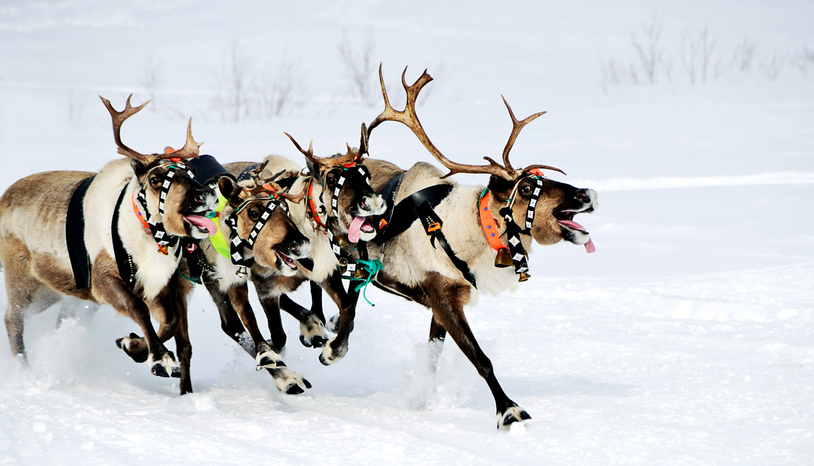 How to tell if Santas reindeer are female Futurity