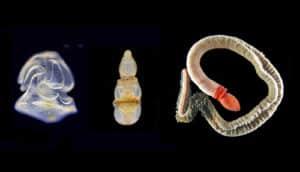 Schizocardium californicum stages