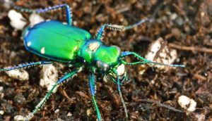 predatory insects - tiger beetle