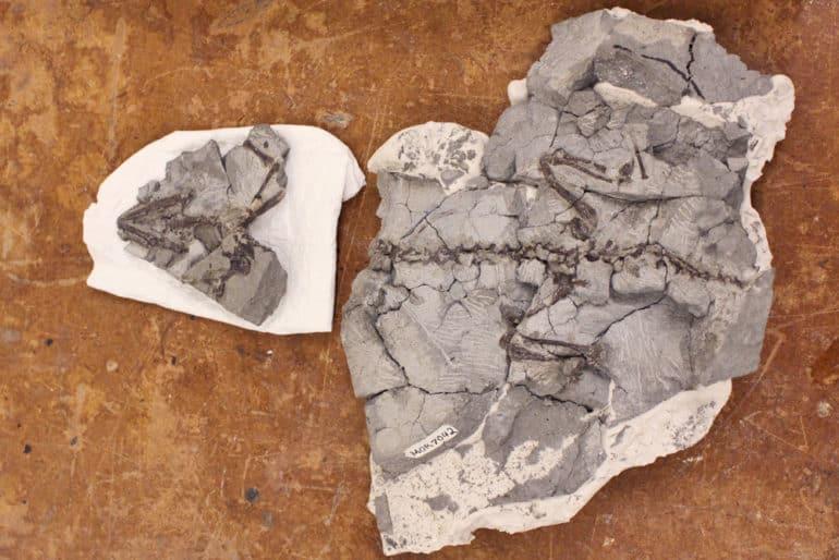 second Magnuviator specimen