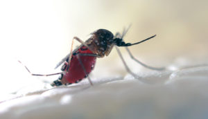 A modified Aedes aegypti mosquito