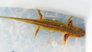 salamander in container