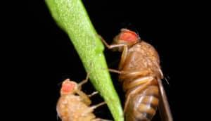 2 fruit flies