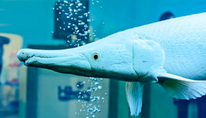alligator gar fish scales