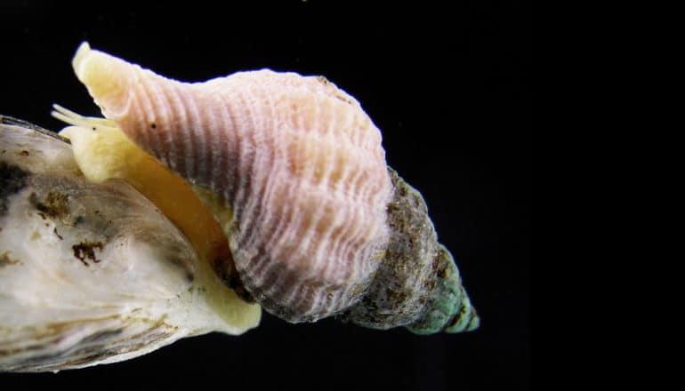 atlantic oyster drill snail