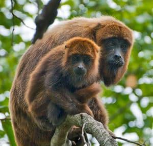 brown howler monkeys
