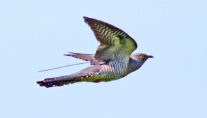 cuckoo with tracker