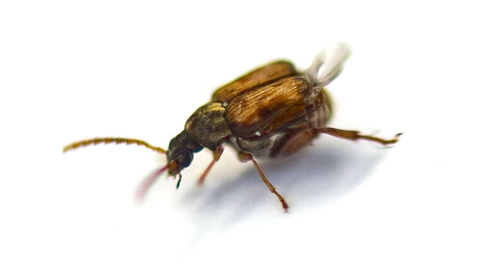 Callosobruchus maculatus